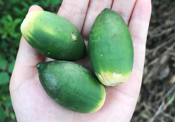 海南槟榔原果